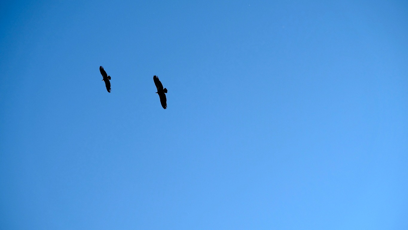 Vultures in Le Boffi