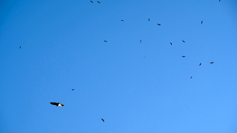 Many vultures!
